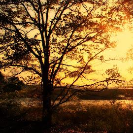 Glow by Betty Doerksen - Nature Up Close Trees & Bushes ( orange, tree, silhouette, sunset, majestic, sunrise, yellow, glow, sun )