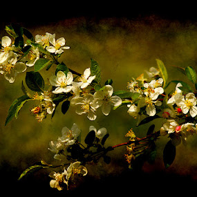 plum blossoms by Zeljko Kustec - Flowers Flowers in the Wild ( plum blossoms )