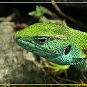 Green lizard (Lacerta viridis)