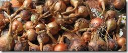 onions-080901