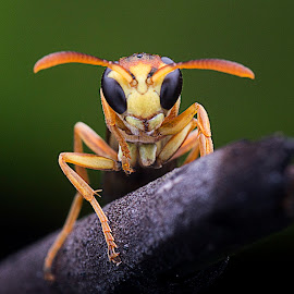 Wasp by Carrot Lim - Animals Insects & Spiders
