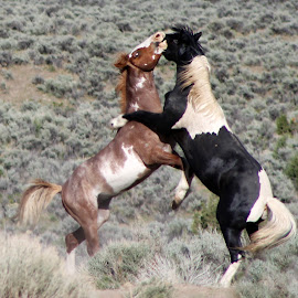 Wild Stallions Fighting by Kathy Tellechea - Animals Horses ( sagebrush, wild, stallions, horses, mustangs, black and white, male, pintos, fighting, paints )