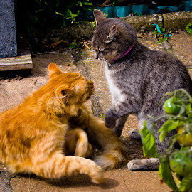 by Darrell Raw - Animals - Cats Playing