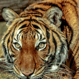 by Carol Plummer - Animals Lions, Tigers & Big Cats (  )