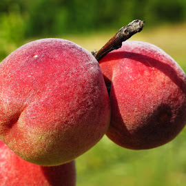 peaches by Luna Sol - Nature Up Close Gardens & Produce ( nature, bio fruit, food, fruits, peach,  )