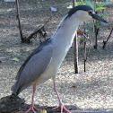 Night-crowned Night Heron