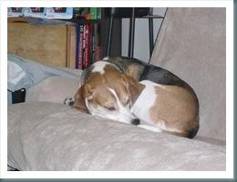 beagles 005