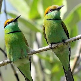 Green Bee-eater by Sankaran Balaji - Animals Birds ( animals, nature, style, green bee-eater, birds,  )