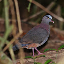 Grey-headed Quail-Dove