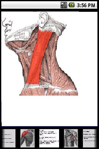 Músculo esquelético Tutorial