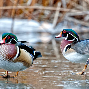wood ducks 2015 by Cody Hoagland - Animals Birds ( ducks )