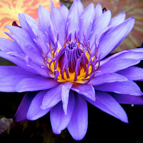 by Ryan Bunting - Flowers Single Flower ( purple, lily, tropical, pond, flower )