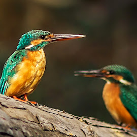The silent King  by Prasanna Bhat - Animals Birds ( perched, throne, wood, common, blue, small kingfisher )