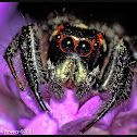 Jumping Spider, male