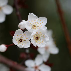 Red Plum Tree Blossoms by Brent Monique Makenzie Moran - Flowers Tree Blossoms ( canon, 70d, tree blossoms, blooming, blooms, red plum, bloom, plum tree, blossoming, skagit county, canon eos, blossom, blossoms, canon eos 70d, washington, eos, washington state, tree,  )