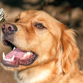 Emergency Landindg by Michel Bissonnette - Animals - Dogs Portraits ( butterfly on dogs nose, butterfly, golden retreiver with butterfly, dog with buterfly, golden retreiver,  )