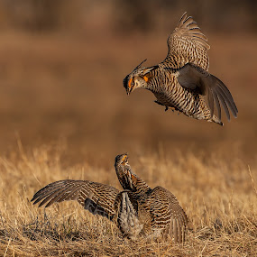 Prairie Chicken Fight by Tom Samuelson - Animals Birds