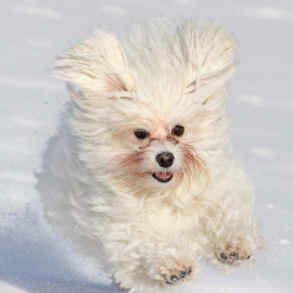 Fast runner by Mia Ikonen - Animals - Dogs Running ( havanese, playful, happy, finland, cute,  )