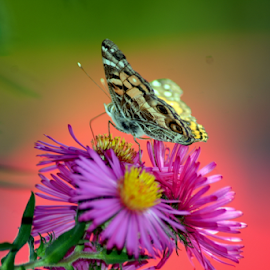 chasing butterflys by Tracey Doak - Novices Only Macro
