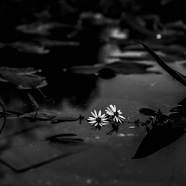 Flowers in the pond.  by Trey Walker - Novices Only Objects & Still Life ( up close, nature, black and white, lily pads, flowers )