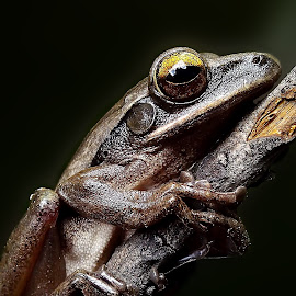 common tree frog  by Hendrata Yoga Surya - Instagram & Mobile Android ( common tree frog, frog, katak, amphibians )