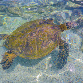 Sea Turtle 02 by Karen Martin - Animals Amphibians ( pacific, sea, ocean, turtle, coast, hawaii )