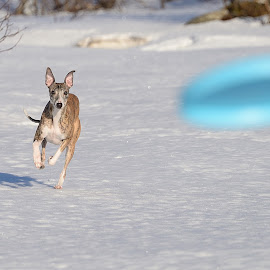 Whippet by Marius Birkeland - Animals - Dogs Playing ( playing, snow, dog, running, whippet )