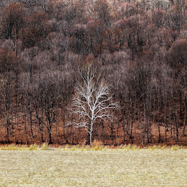 The one by Tomek Karasek - Landscapes Prairies, Meadows & Fields ( white tree, autumn, poconos, fall, trees, outsider, corn field )
