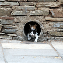 Naughty buddies. by Gordana Nikolovska-Dimeska - Animals - Cats Kittens ( animals, cat, naughty, gaming, portret, game, strit, cats, nature, peers, kittens, natural, animal,  )