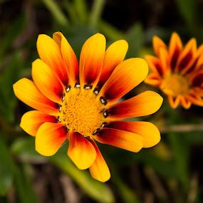 Gazania. by Robert Stanley - Flowers Flowers in the Wild (  )