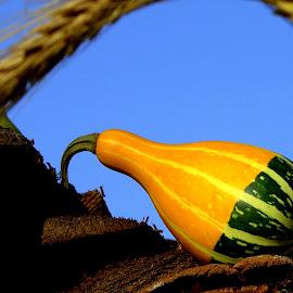 Gourd in my garden by Slobodan Bobo Kovac - Food & Drink Fruits & Vegetables ( gourd, wild, fruit, home garden, nature, autumn, bobo, vegetables, summer, house, photo, spring )