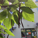 Cigartree, Surmia bignoniowa