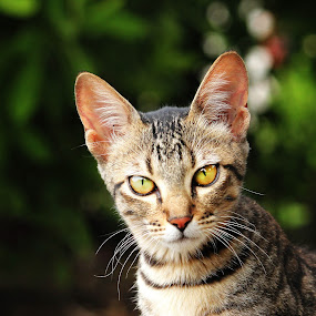That Look by Swapnil Khare - Animals - Cats Playing ( #cat #kitty #eyes )