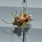 Red Cross Shield Bug