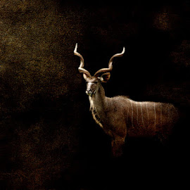 The Kudu King by Bjørn Borge-Lunde - Digital Art Animals ( wild animal, wilderness, kudu, wildlife, africa, antilope )