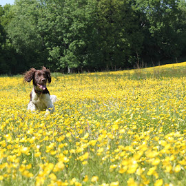 Fields of Gold by Suzi Lloyd - Animals - Dogs Running