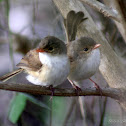 Red-backed Fairywren (Females)