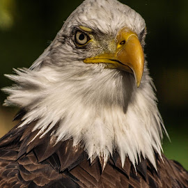 Eagle in the sun by Garry Chisholm - Animals Birds ( bird, garry chisholm, eagle, nature, wildlife, prey, raptor )