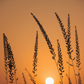 Sun Rise by Thakkar Mj - Nature Up Close Other Natural Objects ( nature, grass, sun rise, morning, sun,  )
