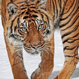 Stroll through the snow by Michael Elliott - Animals Lions, Tigers & Big Cats ( walking, tiger, cold, female, snow walk stroll, stalk, intensity, intense )