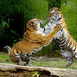 Cat Fight by John Larson - Animals Lions, Tigers & Big Cats