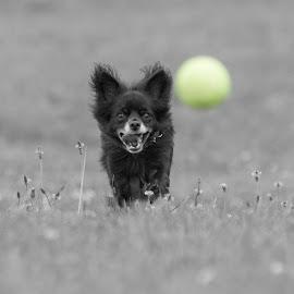 Bob by Stephen Jebb - Animals - Dogs Running ( dogs, dog portrait, puppy, dog playing, puppy portrait )