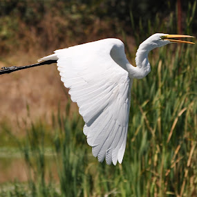 Straight On Till Morning by Ed Hanson - Animals Birds ( bird, flight, white, egret )