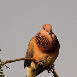 Laughing Dove by Chandrashekhar Shirur - Animals Birds
