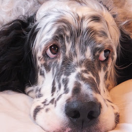 Theo by Kim Howes - Animals - Dogs Portraits ( english setter, beauty, dog )