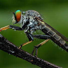 Robberfly  by Lim Andy - Animals Insects & Spiders ( macro, nature close up, insect, robber fly, robberfly )