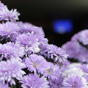 Blue Flowers by Nithesh Panikkassery - Flowers Flower Arangements ( flower background, flowers )