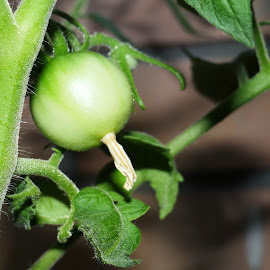 green tomatoes by Dubravka Penzić - Nature Up Close Gardens & Produce (  )