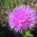 Nodding plumeless thistle, musk thistle