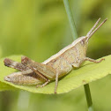 Sprinkled Grasshopper (female)